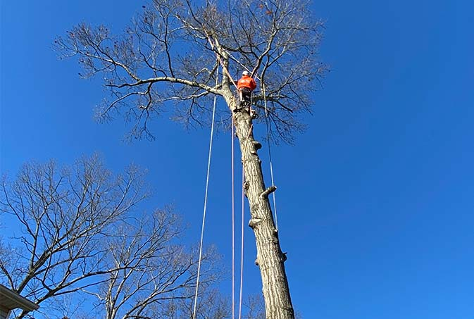 Caliber Tree Services employee trimming a tree